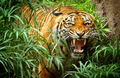 Индокитайский тигр фото
