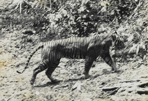 Яванский тигр фото