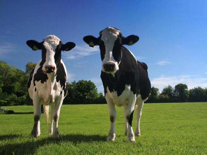 Айрширская корова фото