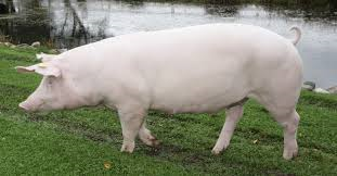 порода свиней Ландрас фото