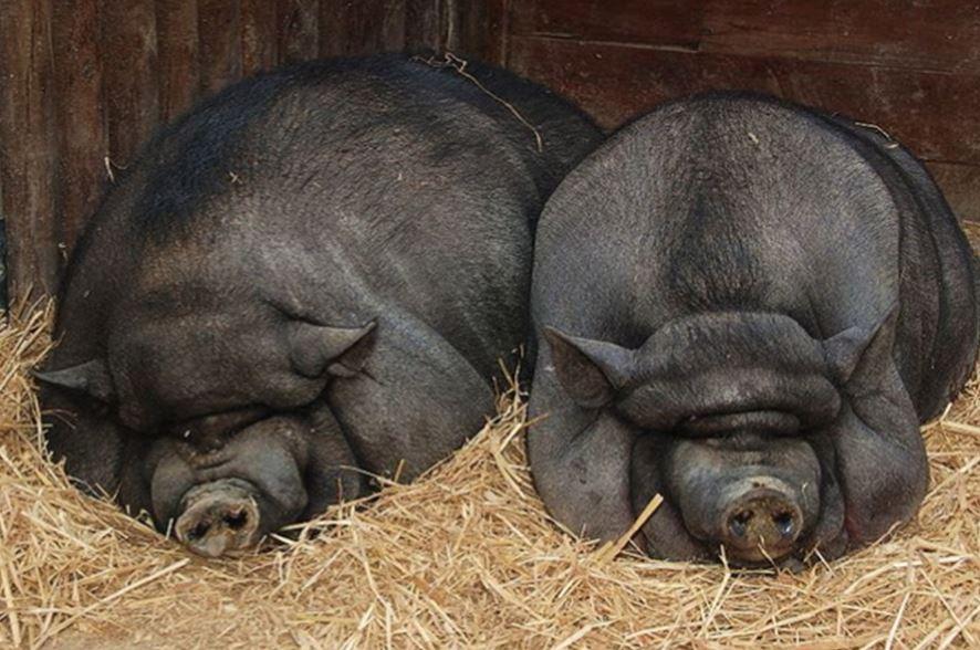 Вьетнамская вислобрюхая свинья фото