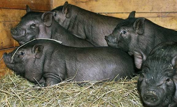 поросята вьетнамской вислобрюхой свиньи фото