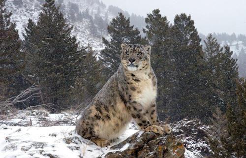 снежный барс фото