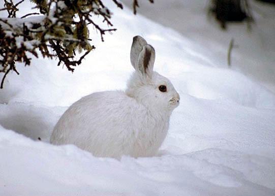 заяц зимой фото