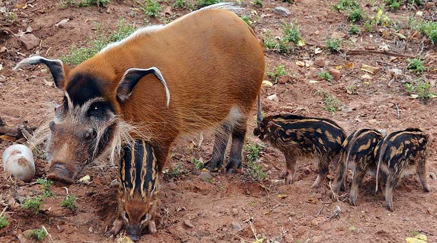 кистеухая свинья фото