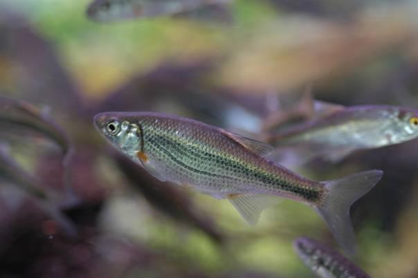 Быстрянка рыба фото