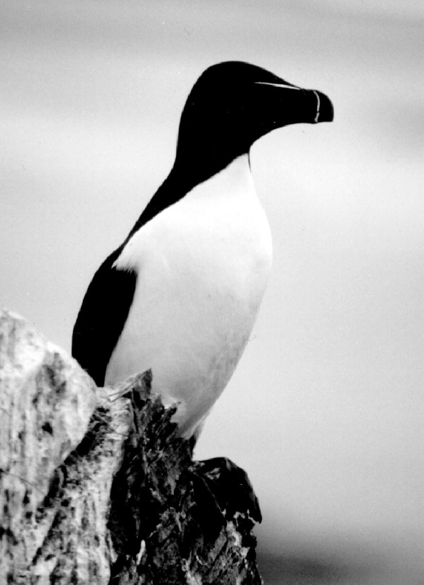 птица гагарка фото