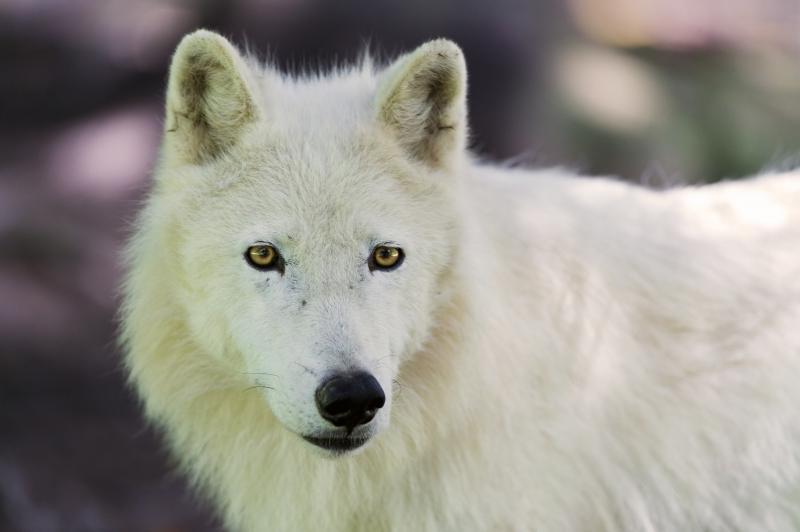 Полярный волк фото