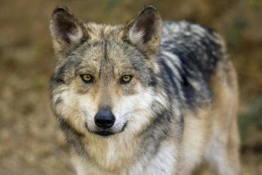 Мексиканский волк фото