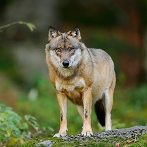 Макензийский равнинный волк фото