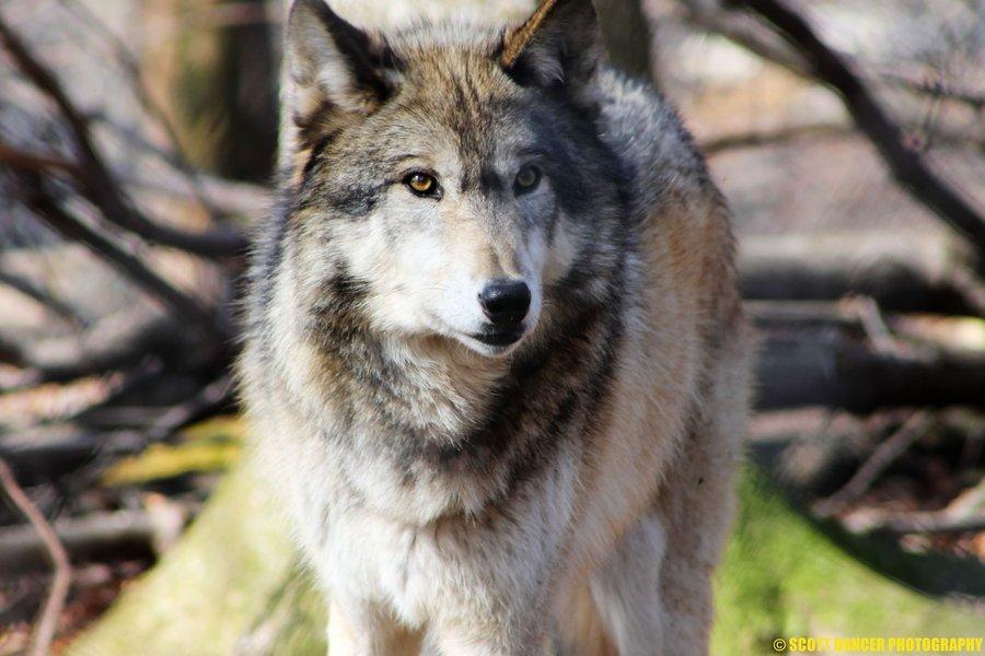 Тундровый волк фото