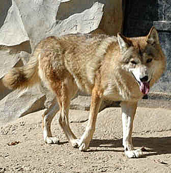 волк тибетский фото