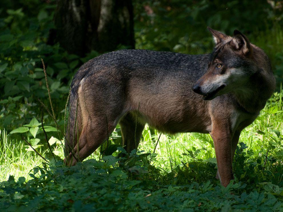 Евразийский волк фото