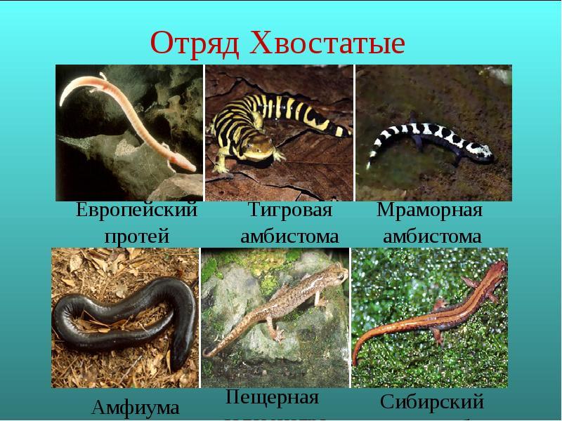 Безлёгочные саламандры фото