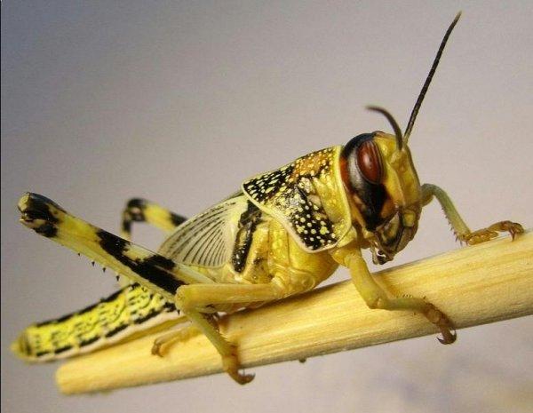 Саранча насекомое
