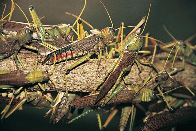 Саранча насекомое фото