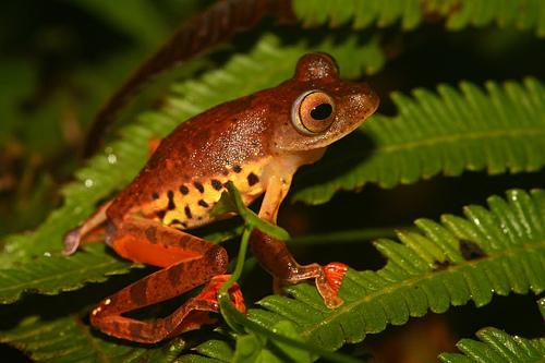 лягушка Ателопа фото