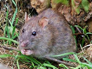 Серая крыса фото