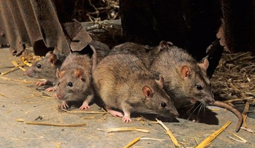 серая крыса пасюк фото