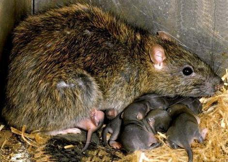 крыса пасюк фото