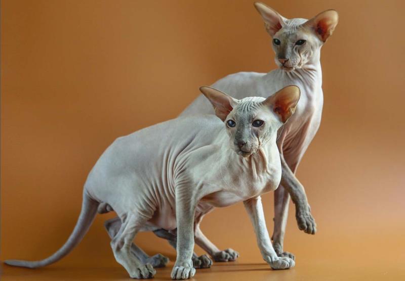 Кошка сфинкс фото