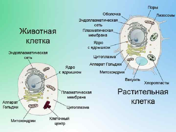 строение клетки фото