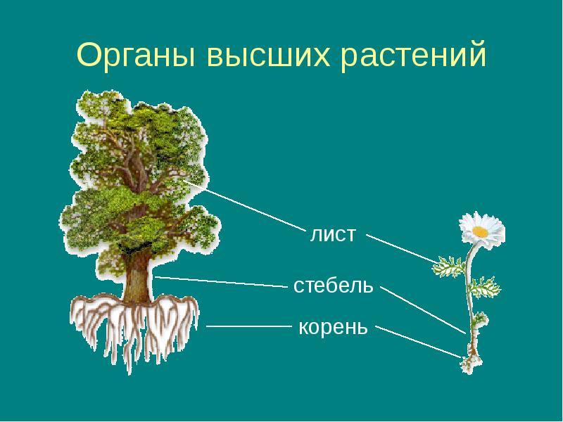 Высшие растения фото