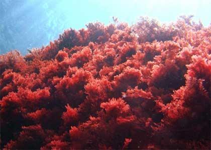 Красные водоросли фото