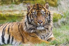 тигр суматранский фото